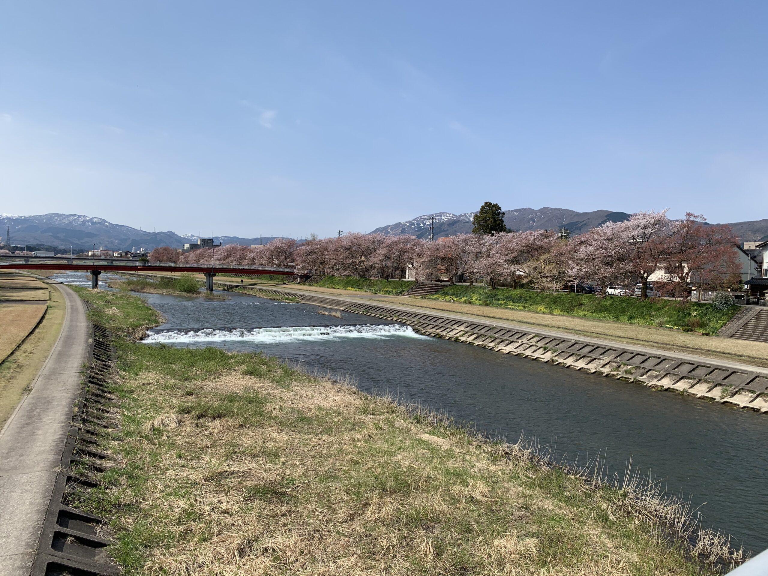 富山県南砺市小矢部川公園の桜並木がええ感じ